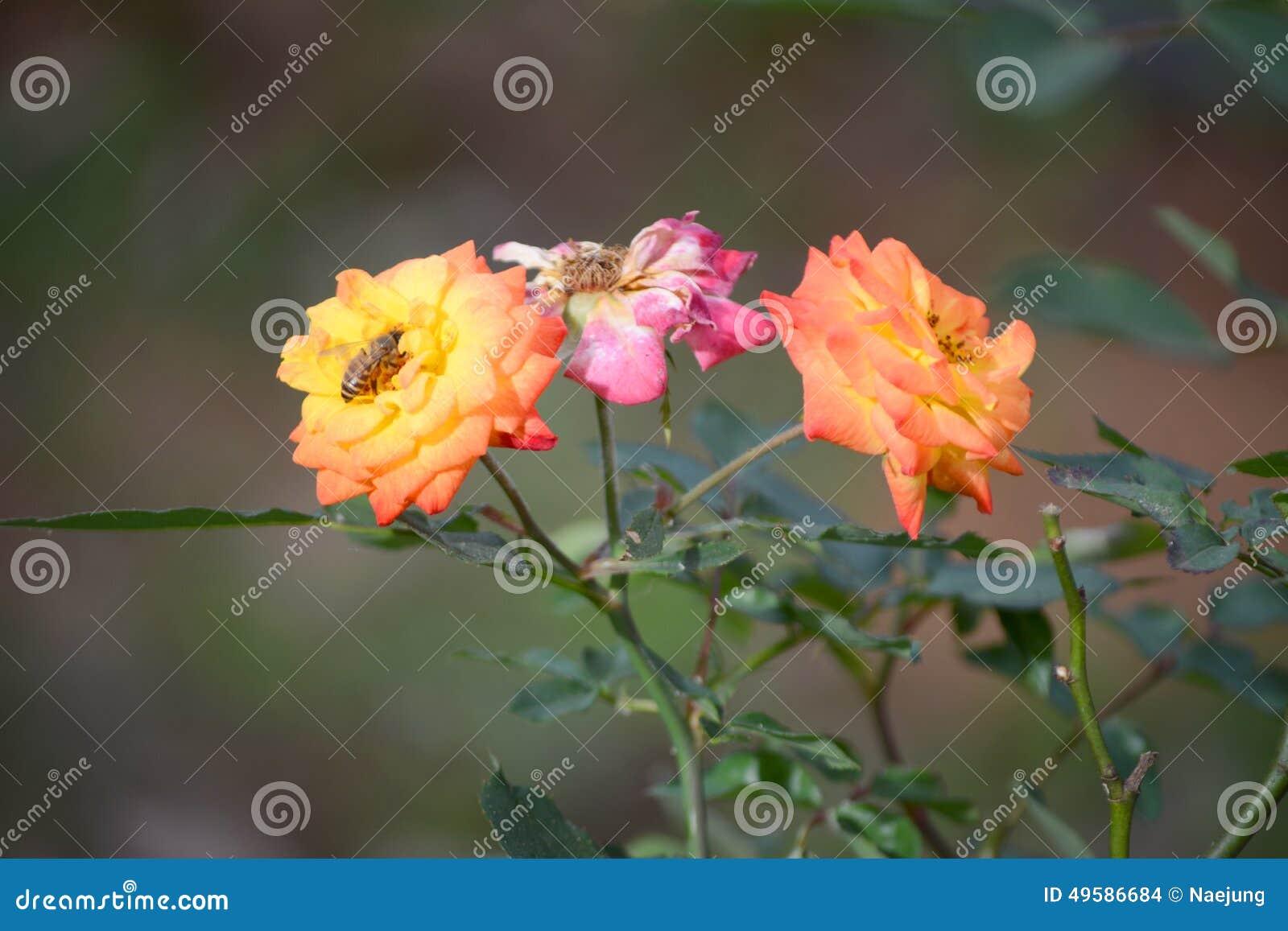 Rose pomarańczy