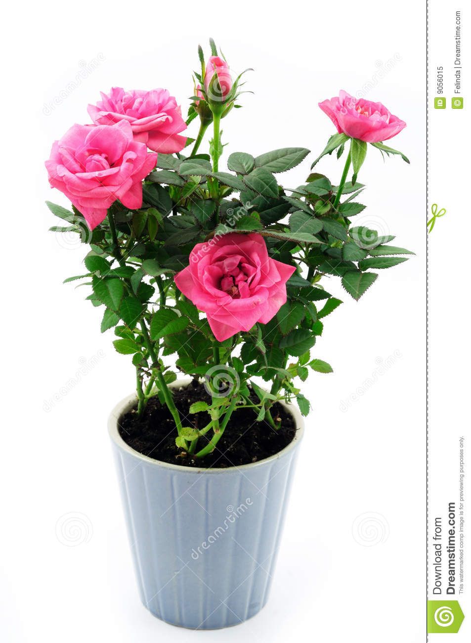 Rose In The Pot Stock Image Image Of Nature Pink