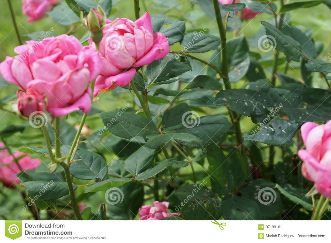 Rose stock image image of thorn love flower pink 97199161 image of thorn love flower pink 97199161 mightylinksfo