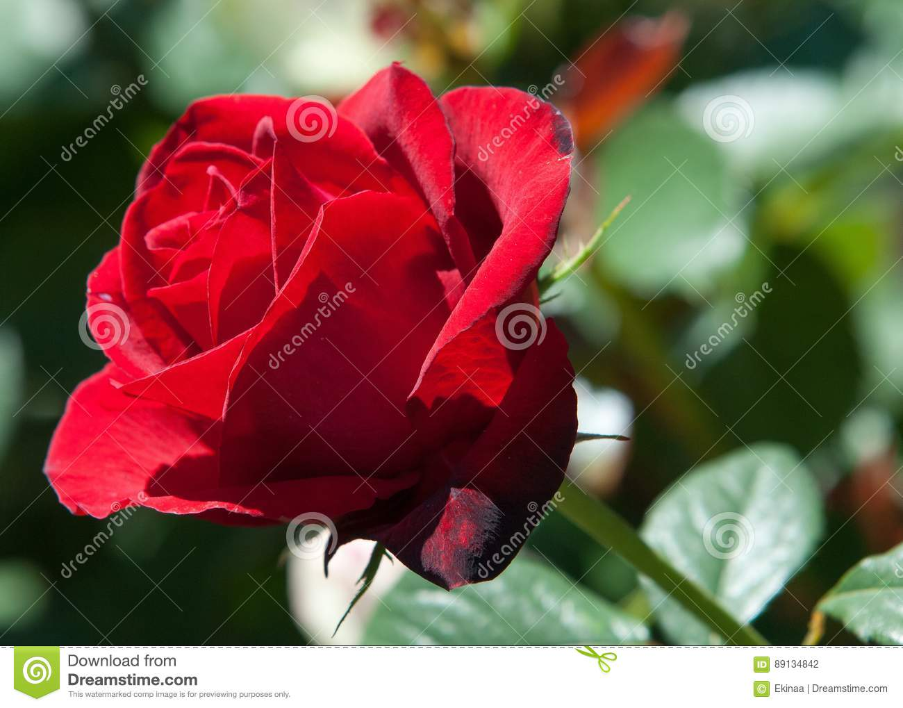 Rose a prickly bush or shrub that typically bears red pink yellow rose a prickly bush or shrub that typically bears red pink yellow or white fragrant flowers native to north temperate regions mightylinksfo