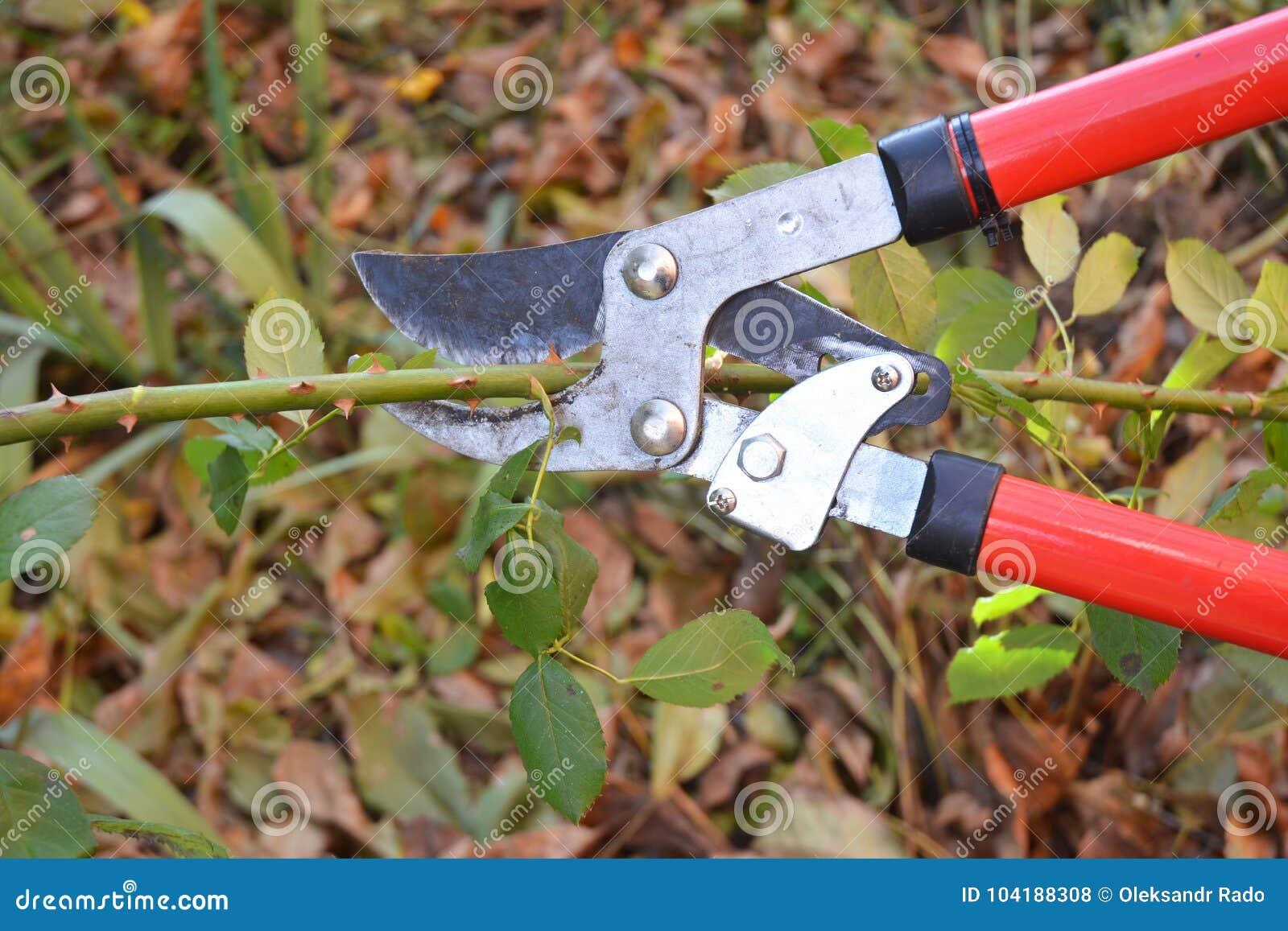 Rose Pruning Gardener Prune Climbing Roses How To Prune Roses