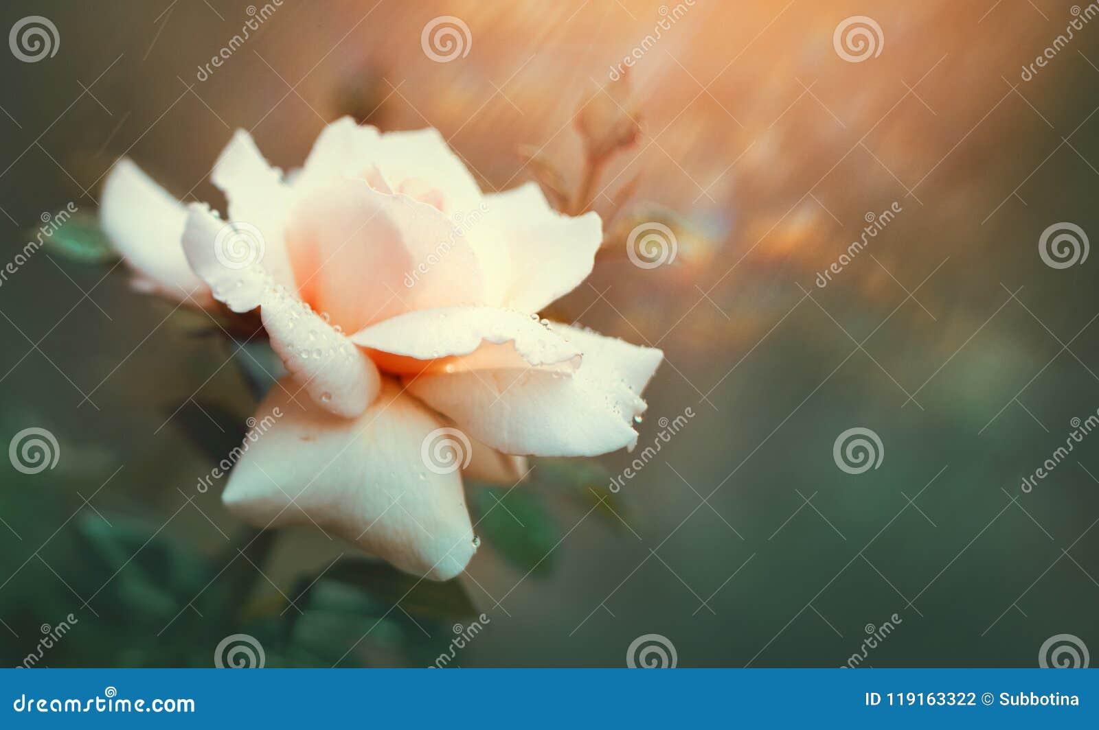 Rose que florece en jardín del verano Crecimiento de flores rosado de las rosas al aire libre Naturaleza, flor floreciente