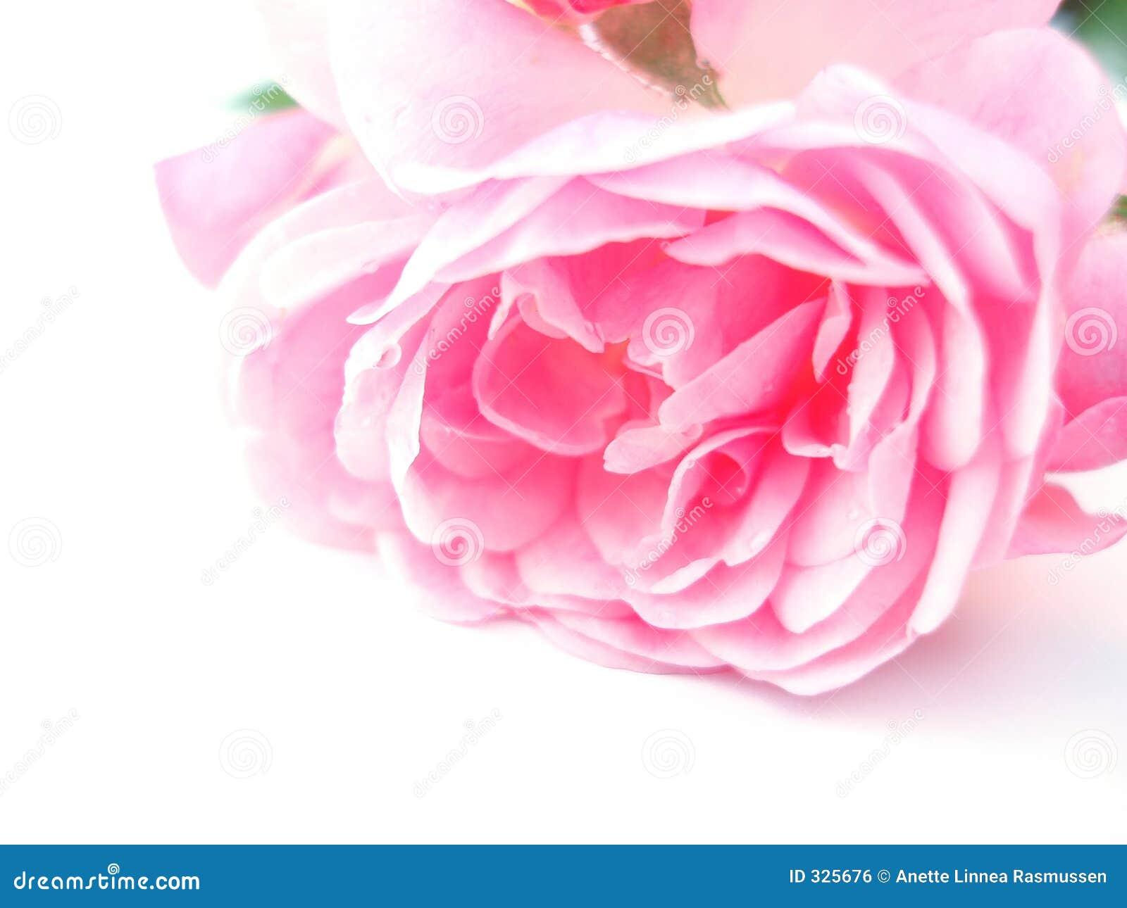 Rose różowego samotna