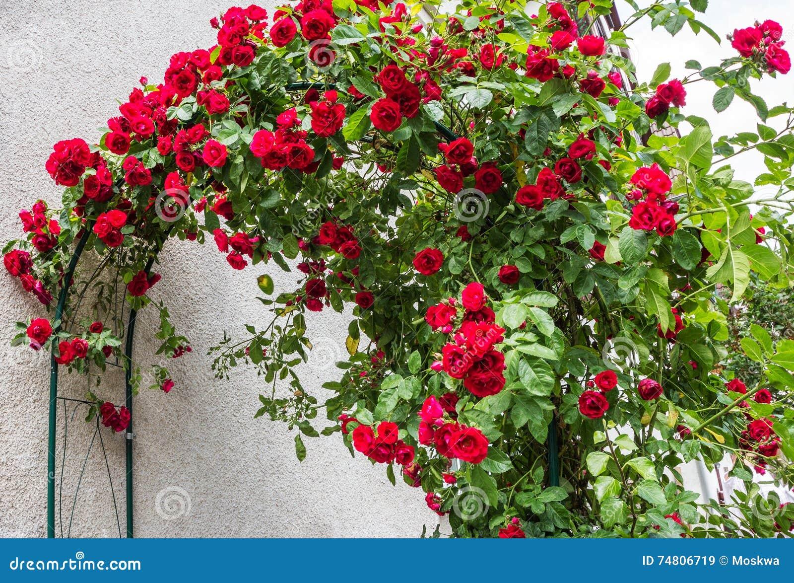 Piante Di Rose Rampicanti rose rampicanti rosse immagine stock. immagine di pianta