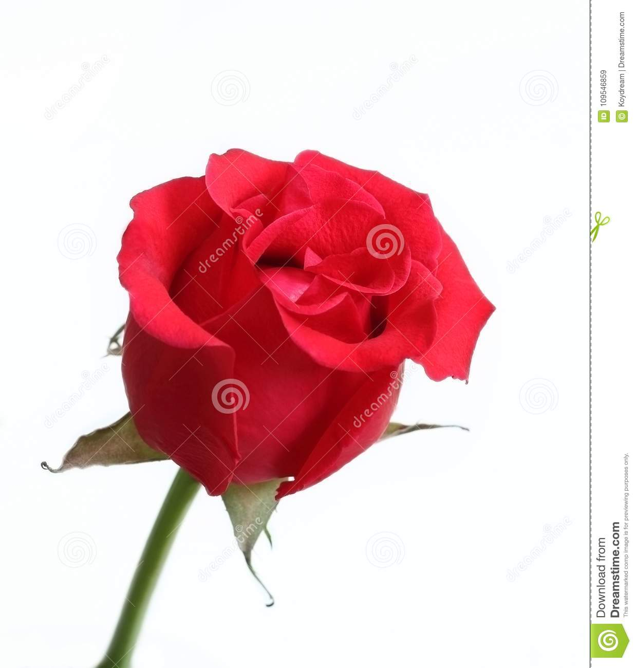 Rose Red Color Flower On White Background. Stock Image - Image of ...