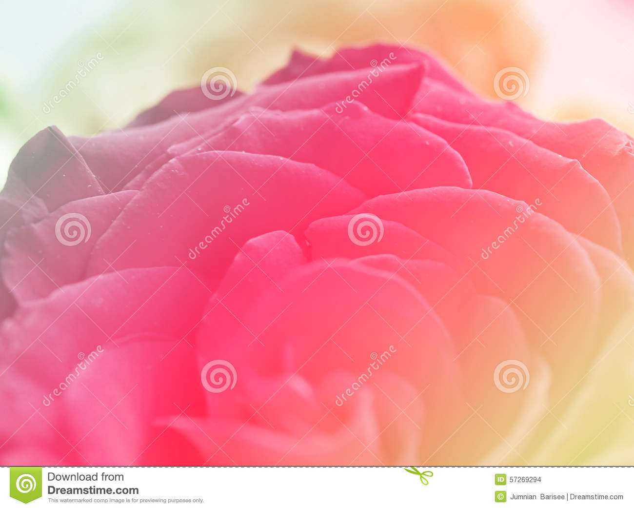 Rose Red Pink color Background Love Valentine Stock Illustration - Image: 57269294