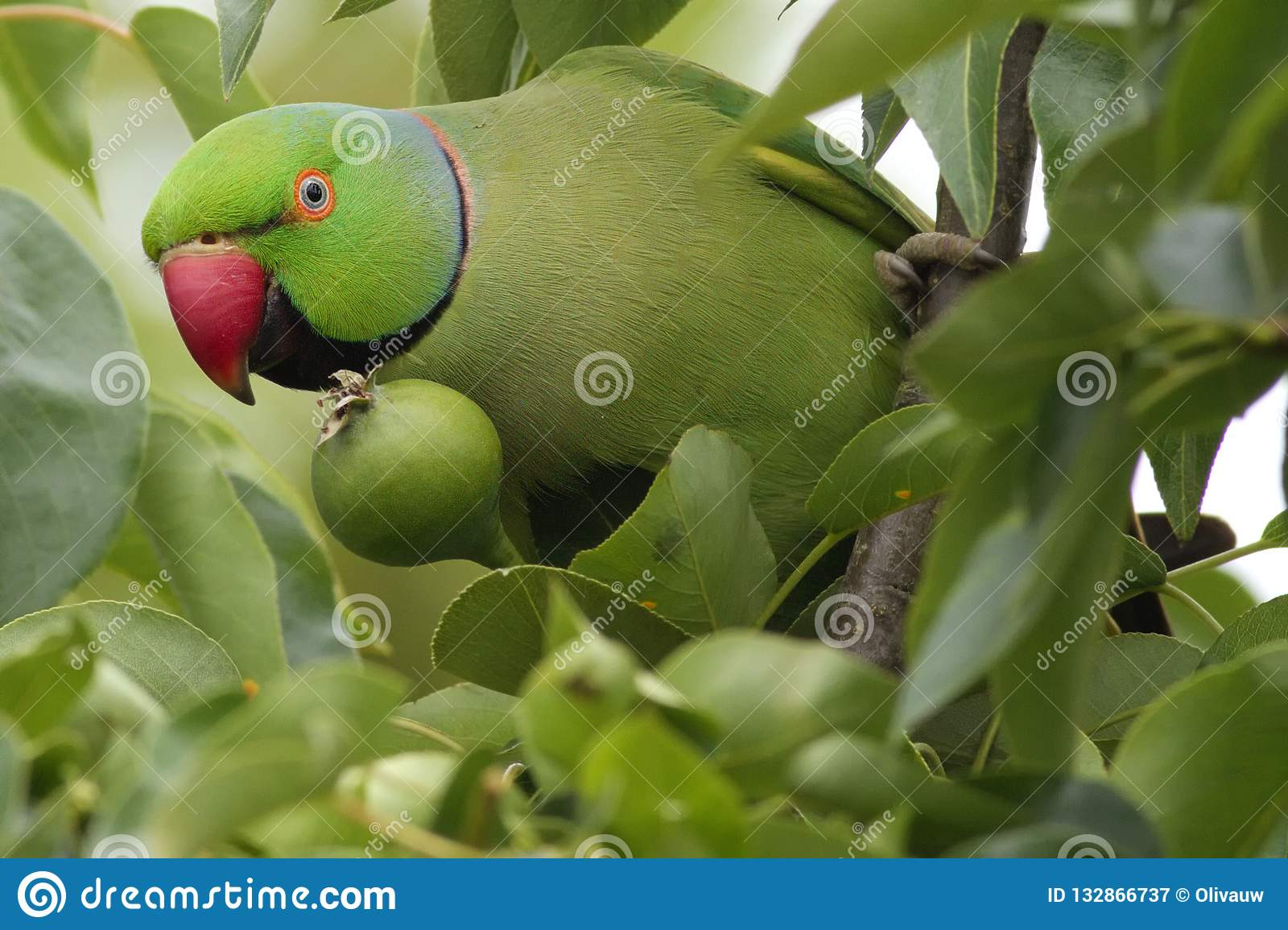 Rose-ringed parakeet in a pear tree