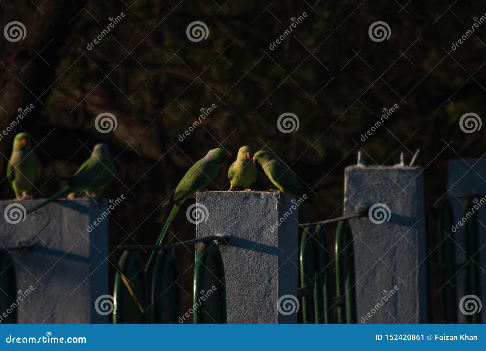 Rose Ringed Parakeets eller indiska papegojor som matar på korn, lägger undan offentligt nära en sjö i indore