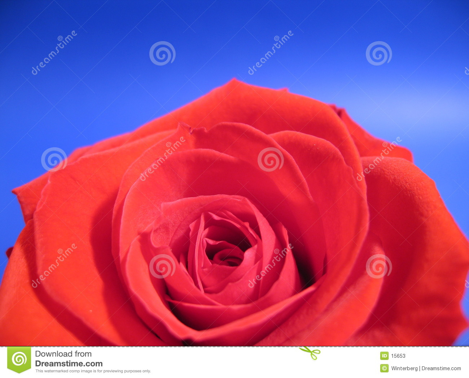 Rose roja