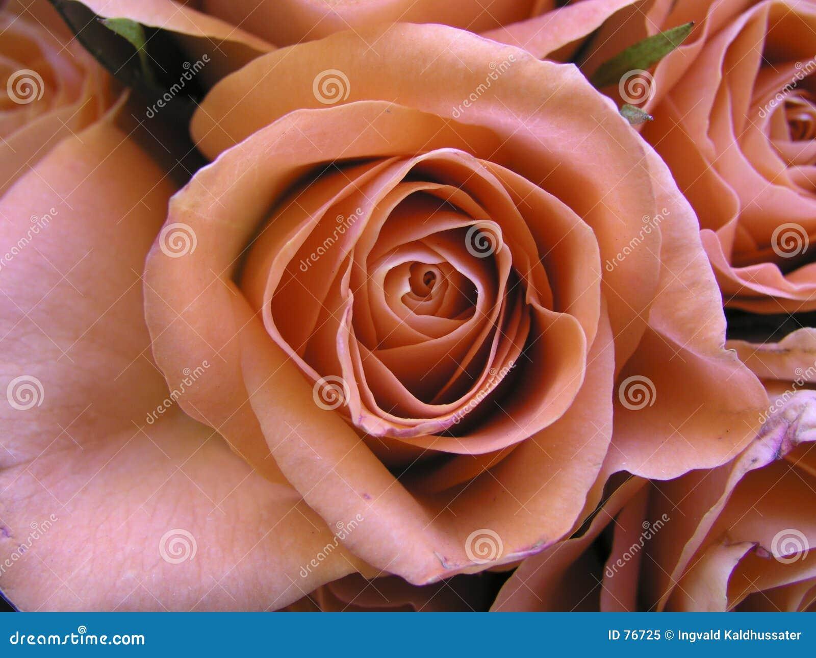 Rose romantyczne