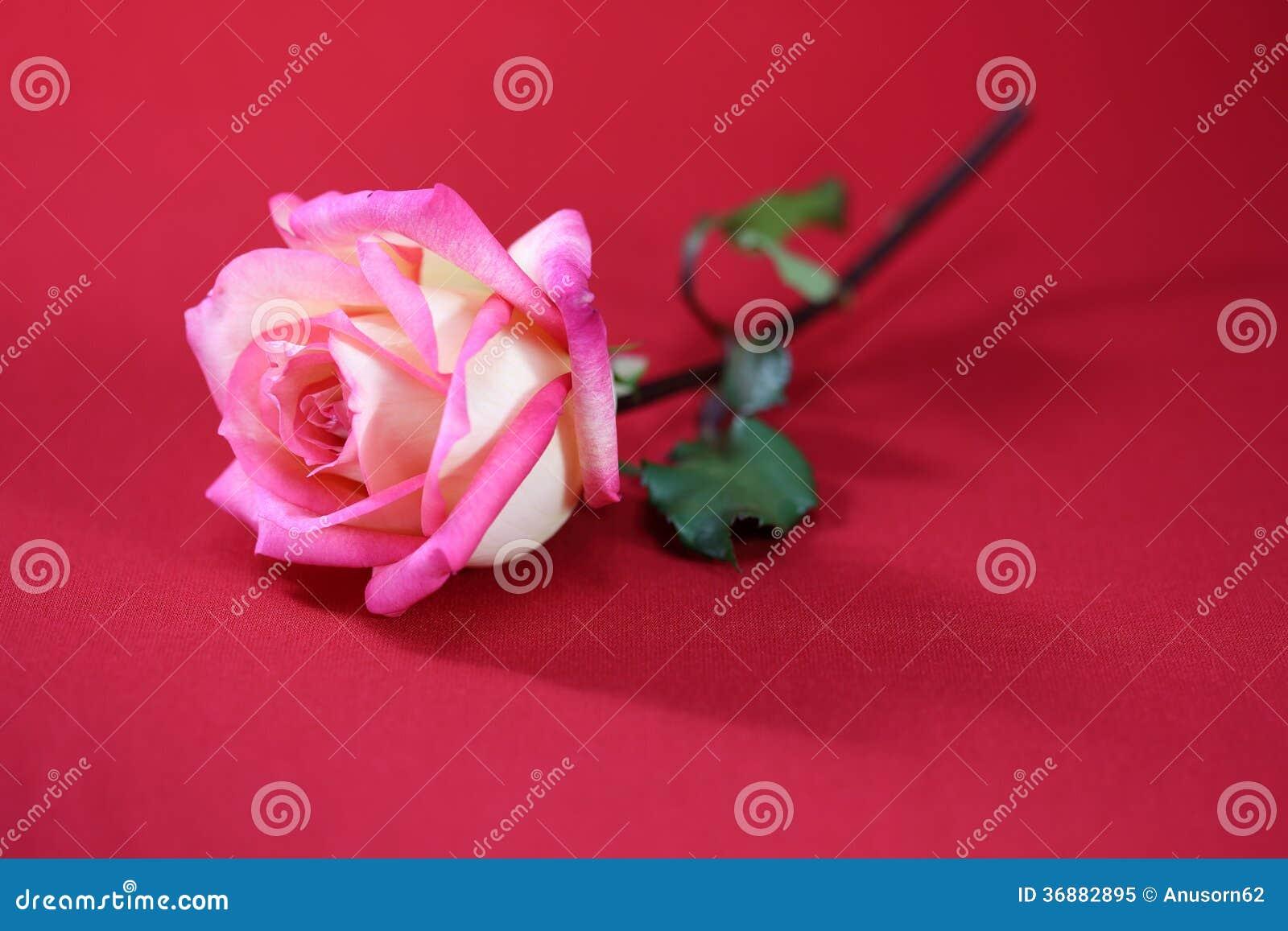 Download Rose rosa immagine stock. Immagine di eleganza, regalo - 36882895