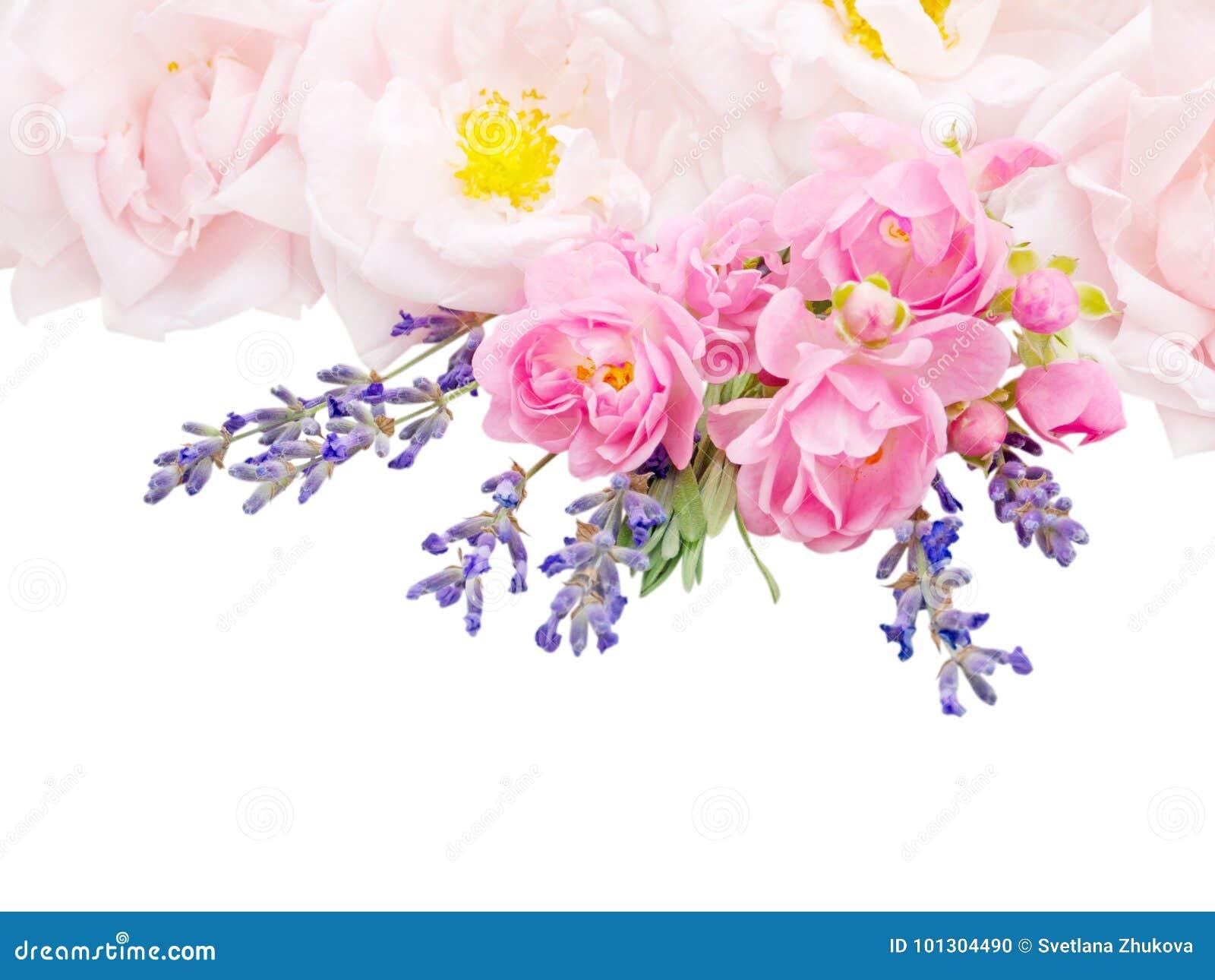 Rose rosa e mazzo della lavanda isolato su bianco