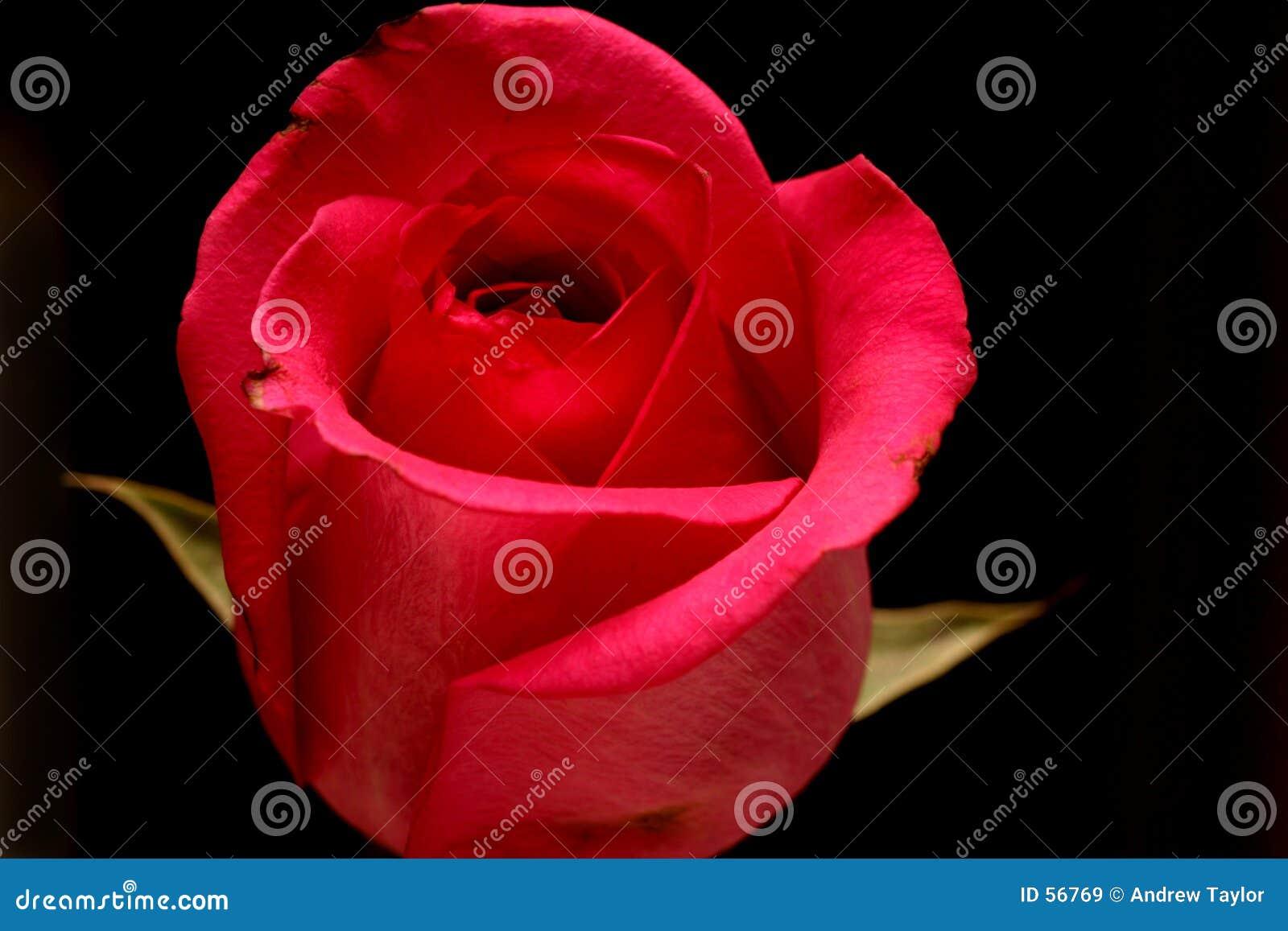 Rose rosada aislada