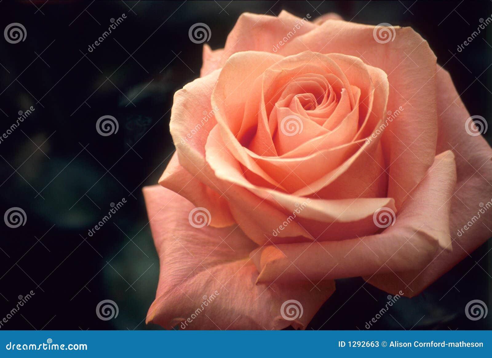 Rose rose sensible