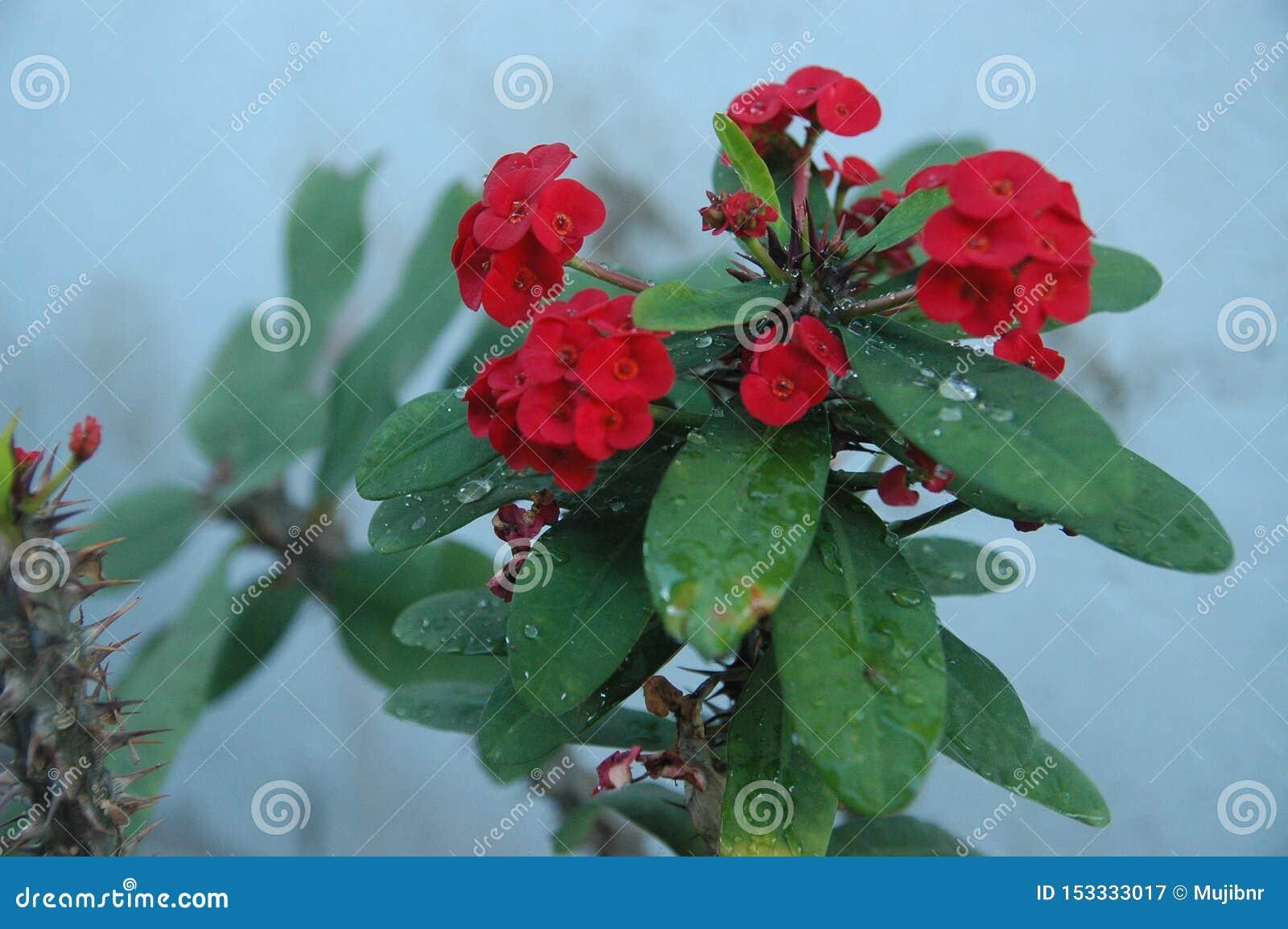 Rose rosse alte vicine, fiori rossi ed ideale verde della foglia per fondo
