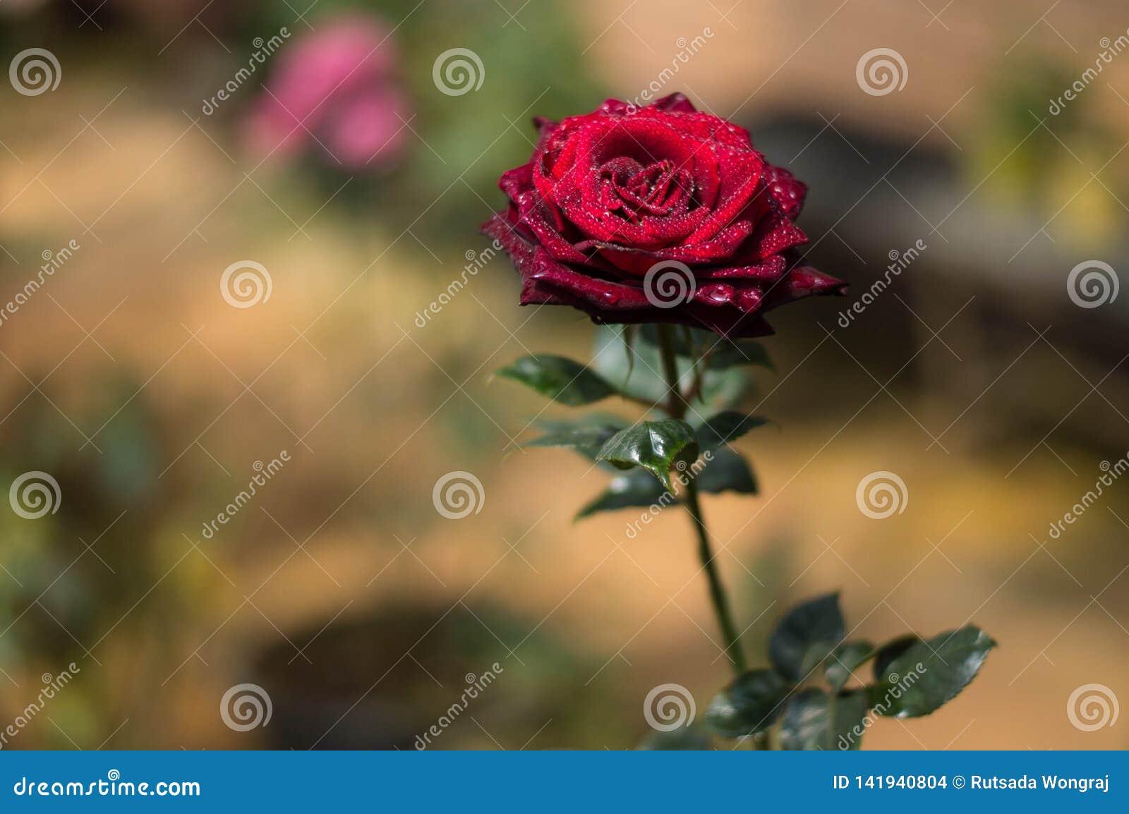 Rose rosse nel giardino