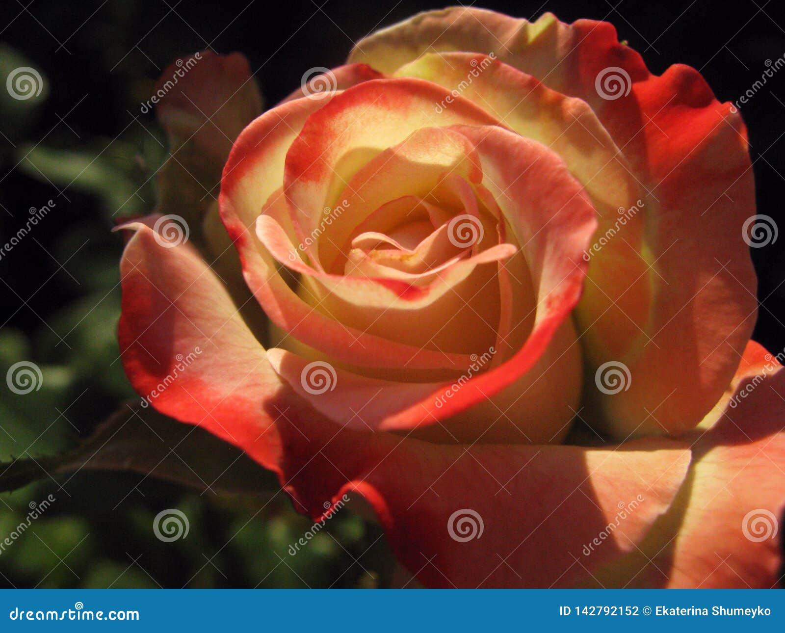 Rose rouge avec les ombres molles