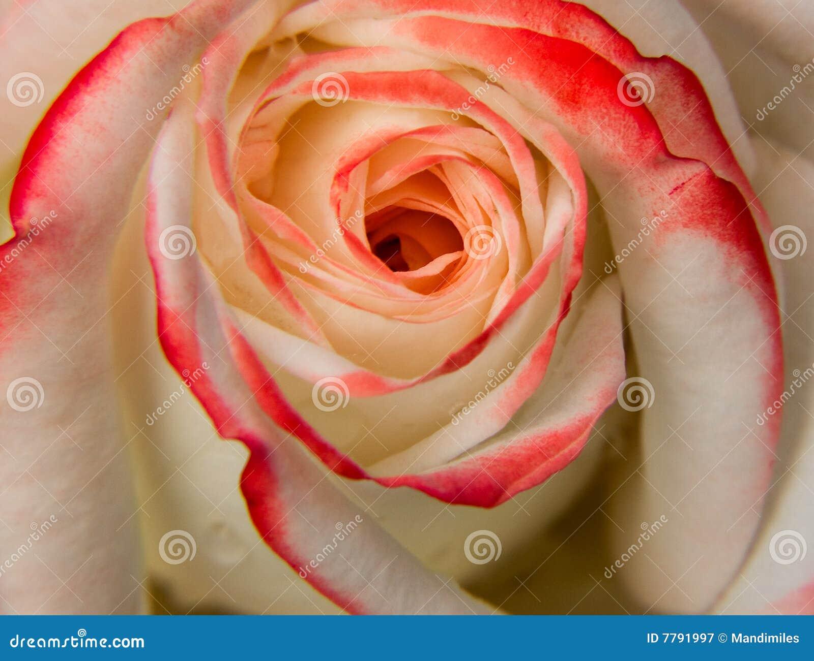 Rose Et Blanche : Rose rouge et blanche photographie stock libre de droits