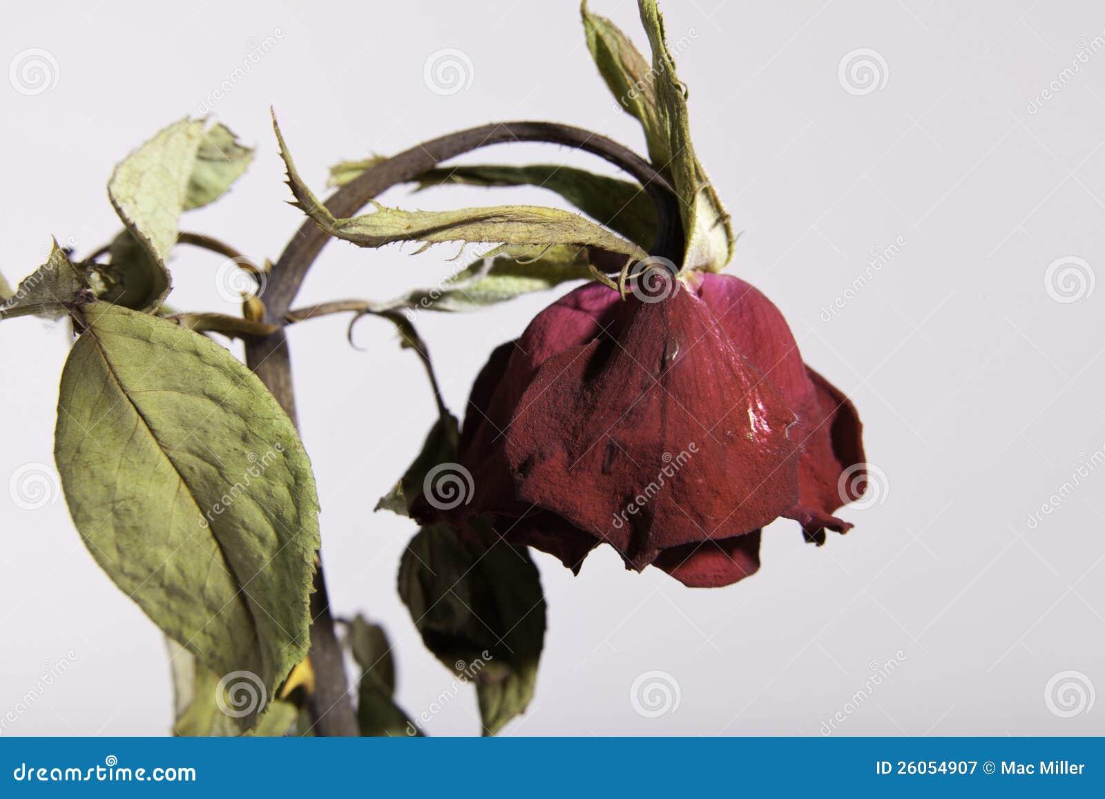 rose rouge morte ou se fanante triste sur le blanc photographie