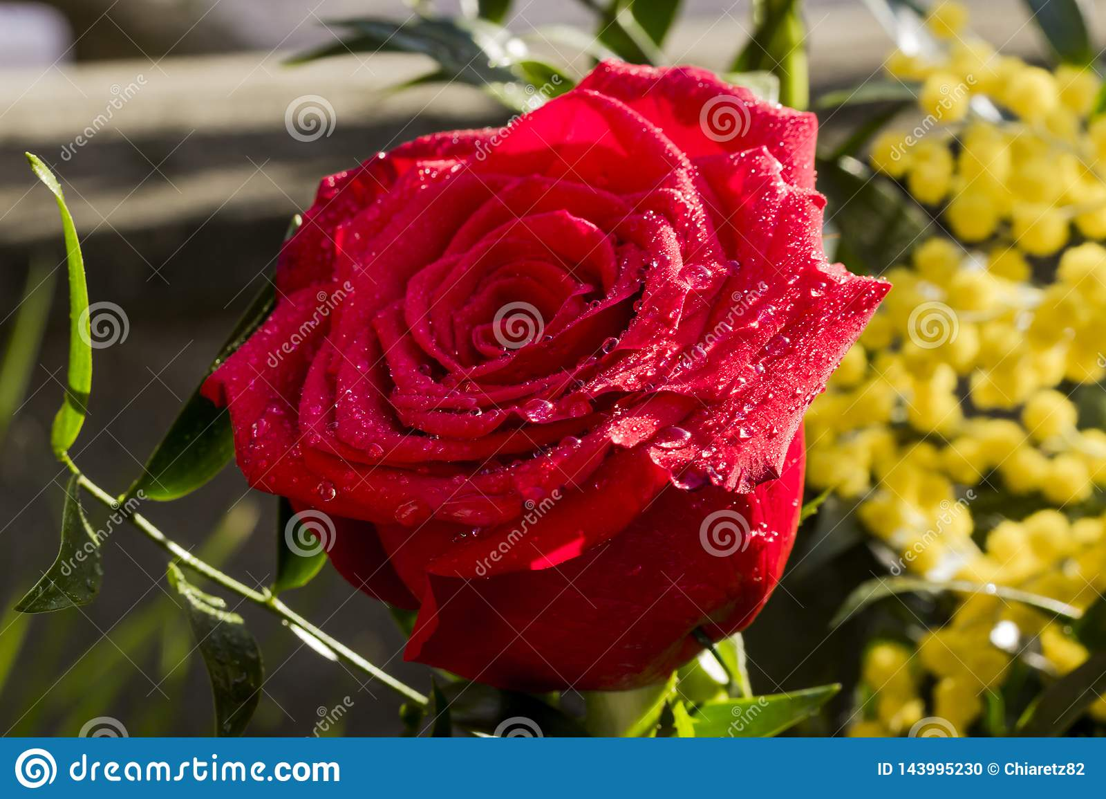 Rose rouge pour le jour des femmes
