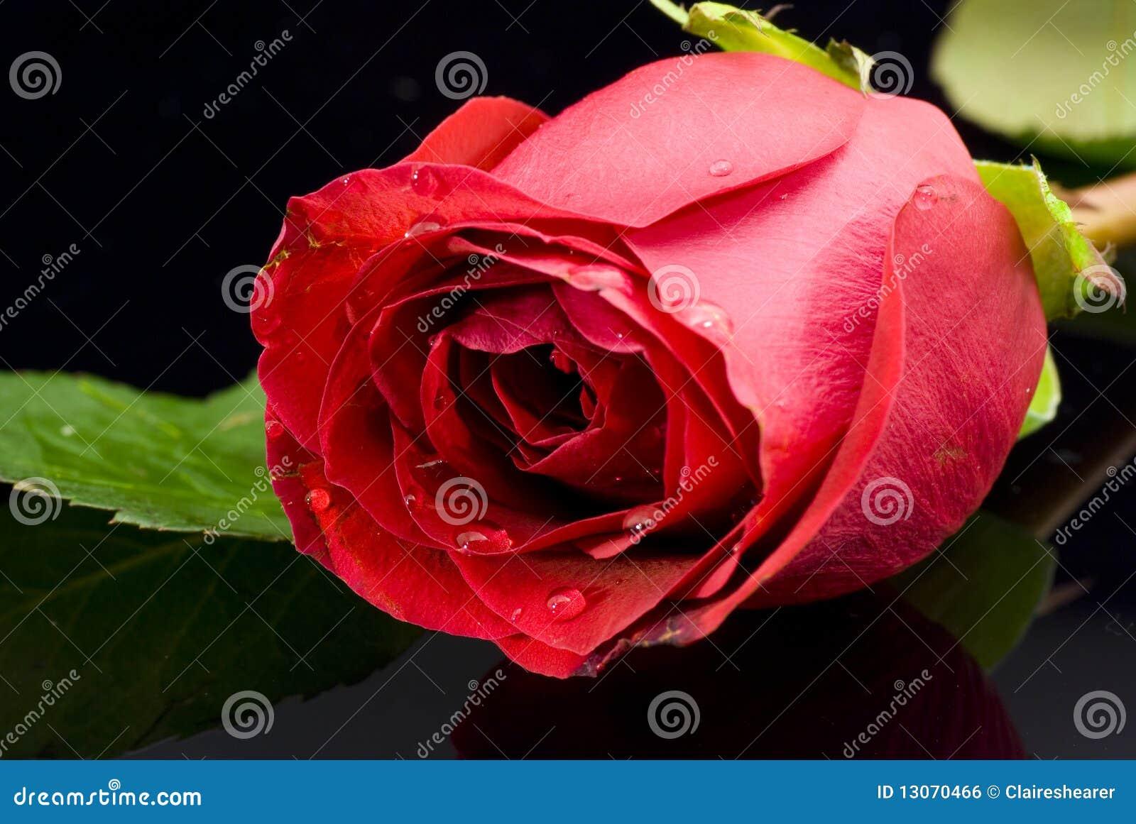 Rose rouge sur le fond noir