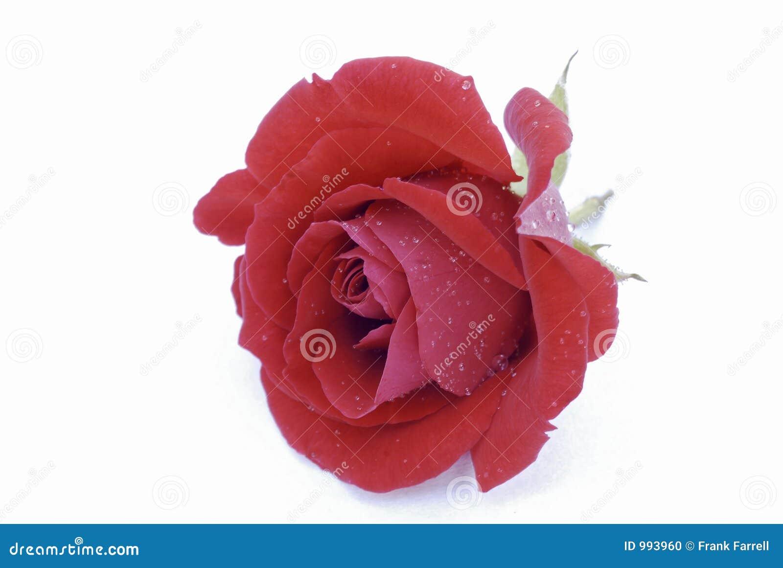 Rose s-valentin