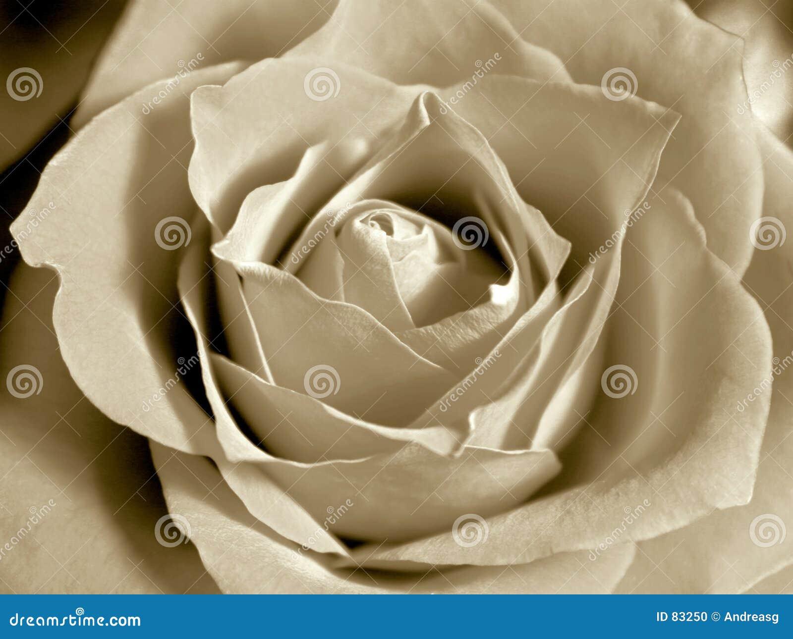 Rose sepiowego white