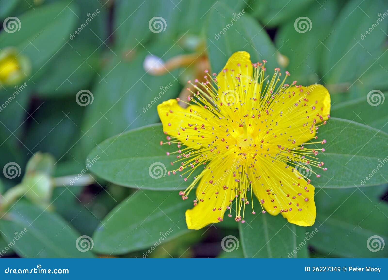 Rose Of Sharon Stock Image Image Of Nature Vivid Flora 26227349