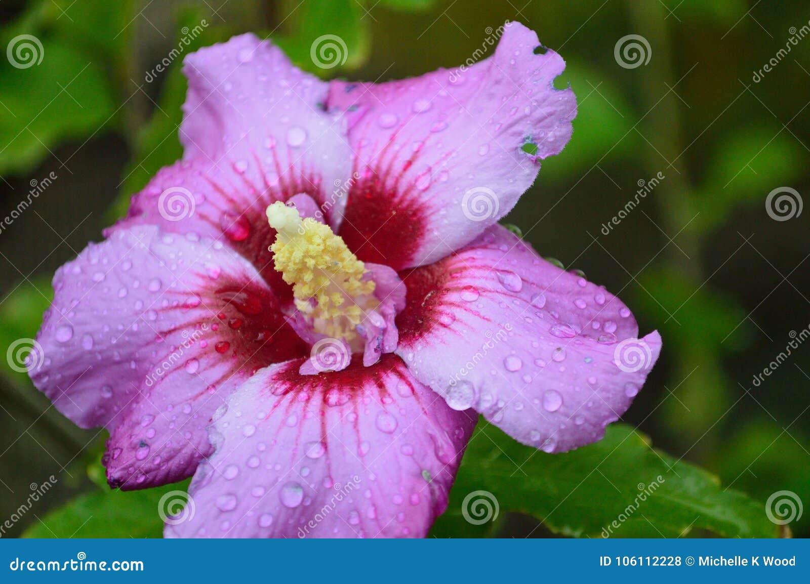 Rose of Sharon Hibiscus syriacus closeup