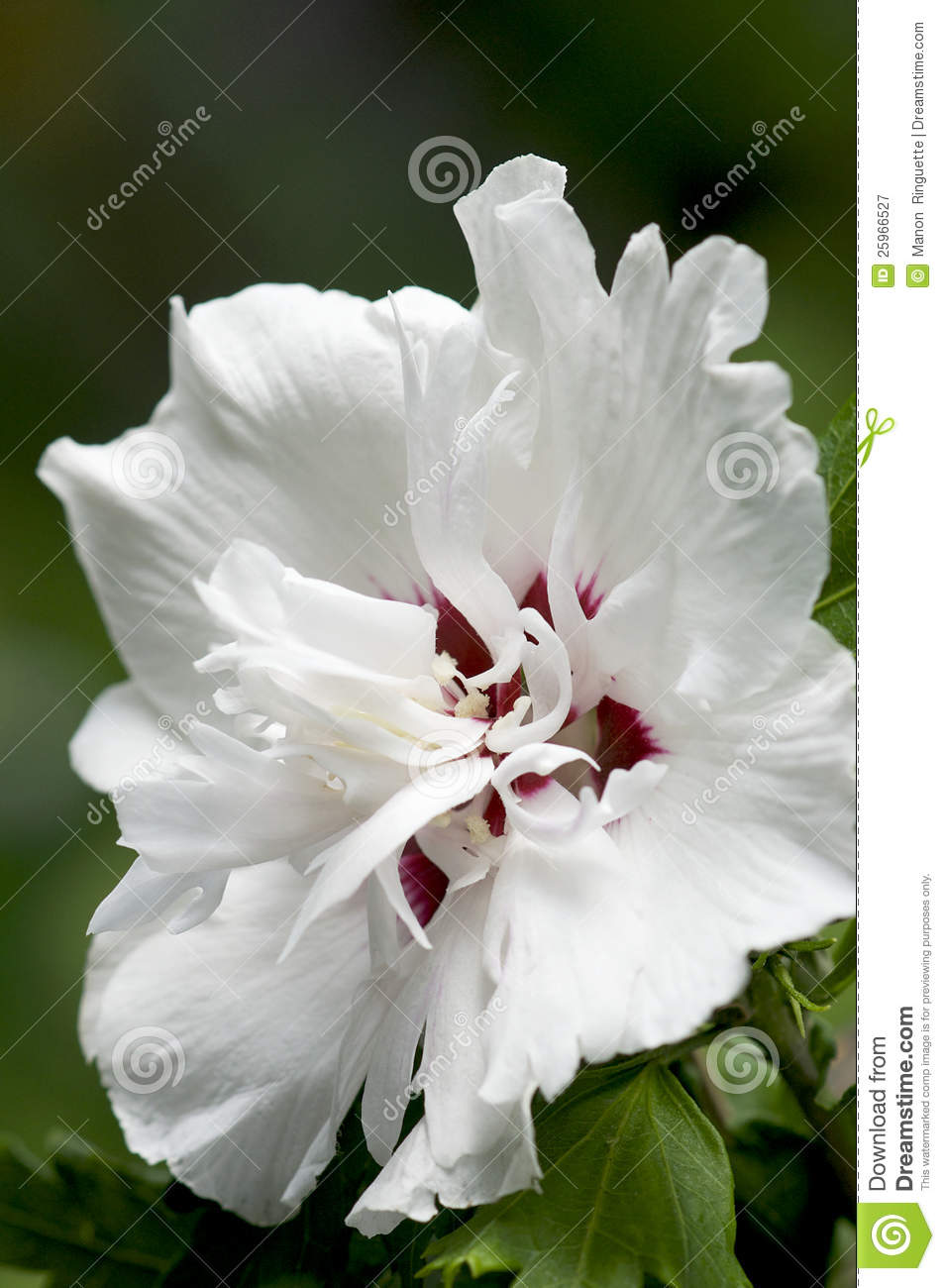 Rose Of Sharon Hibiscus Syriacus Morning Star Stock Image
