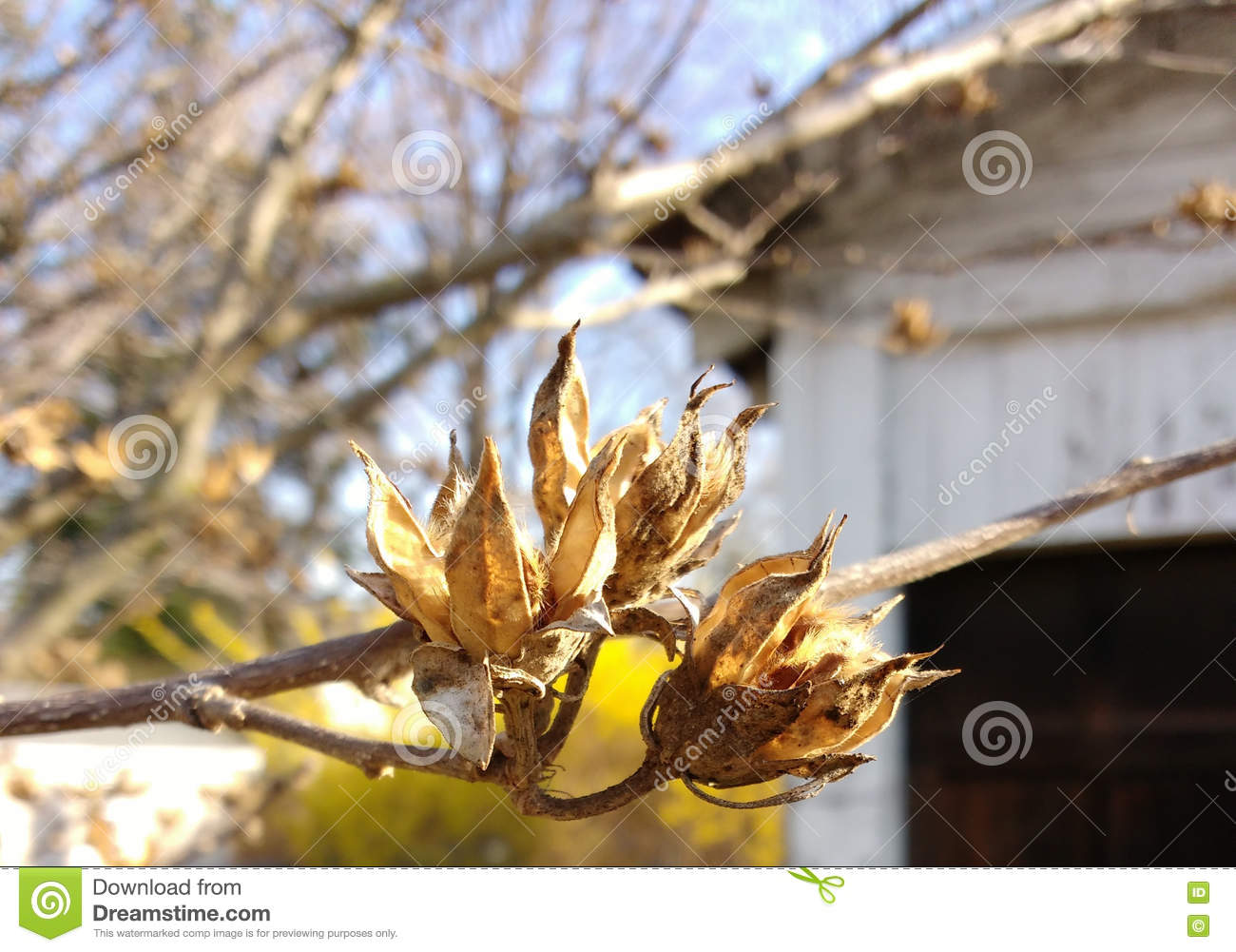 Rose Of Sharon Seedpods Stock Image Image Of Dried Hobbies 72119953