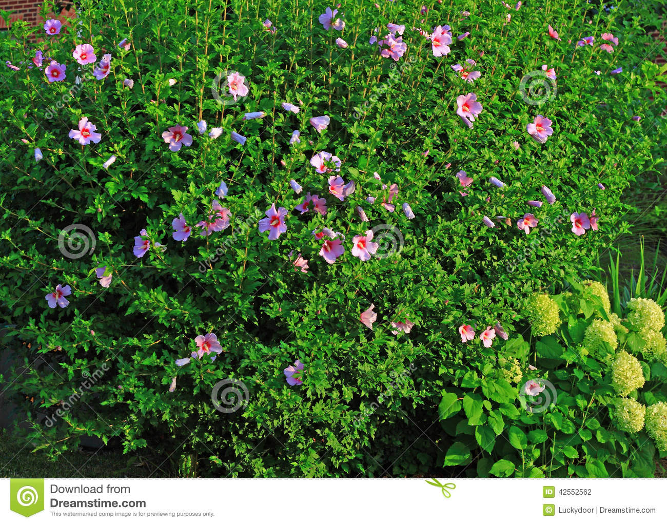 Landscaping Shrubs With Pink Flowers : Shrub hibiscus syriacus pink flowers home commercial landscaping