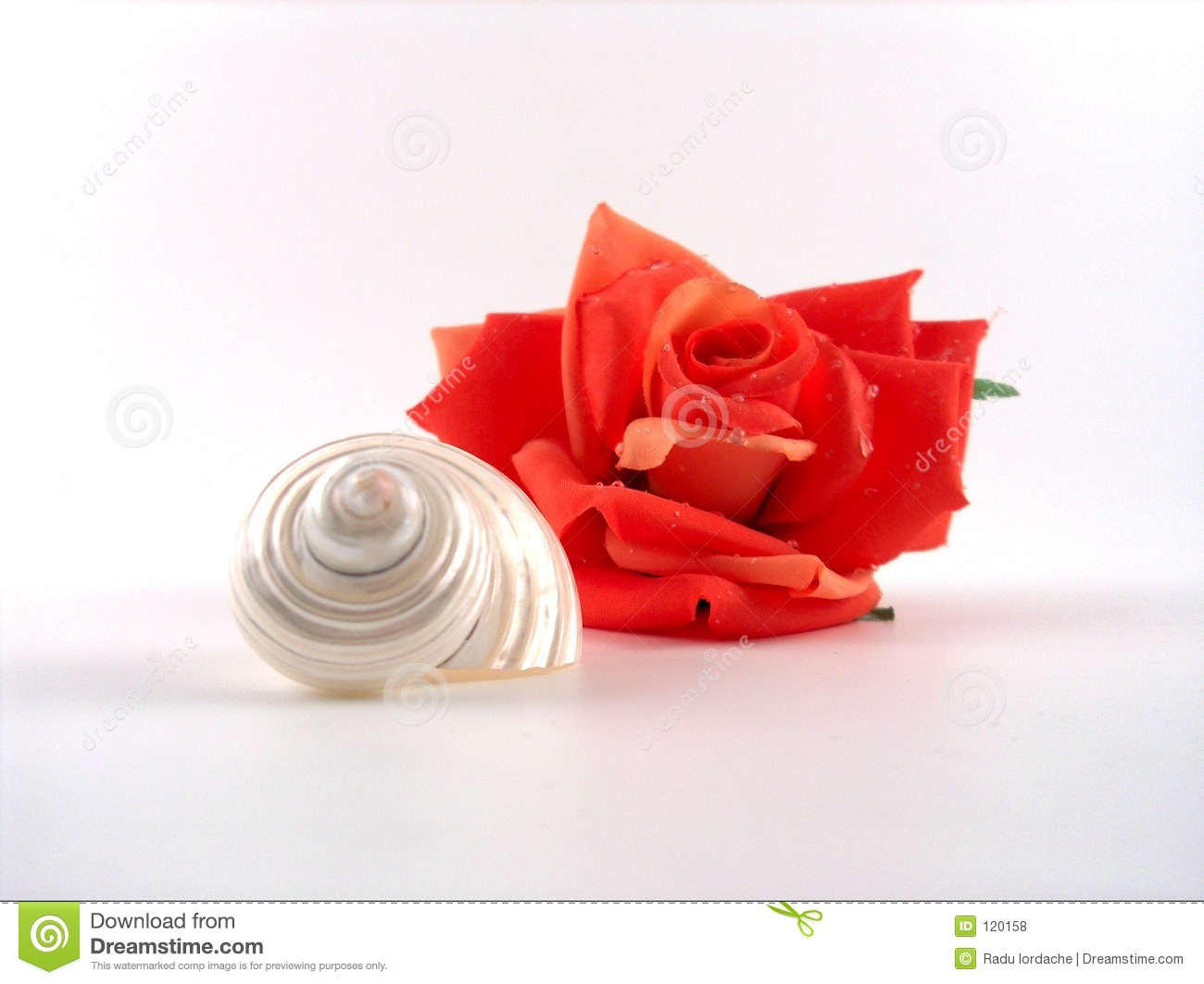 Rose and shell