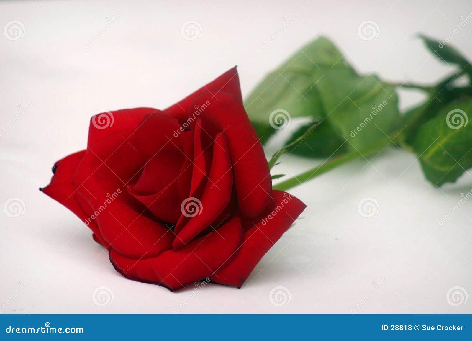 Rose simple