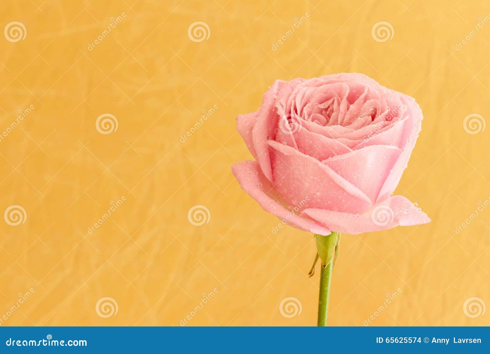Rose simple de rose avec des baisses de l eau