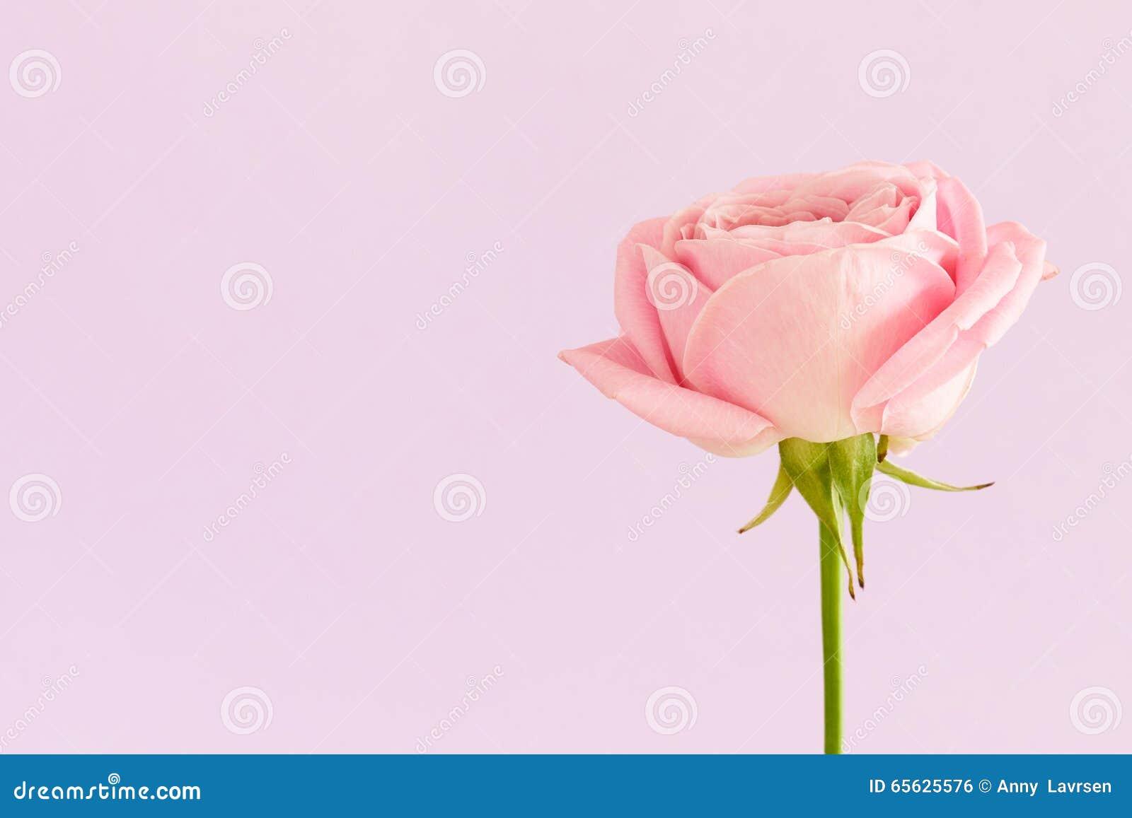 Rose simple de rose sur le fond mauve-clair