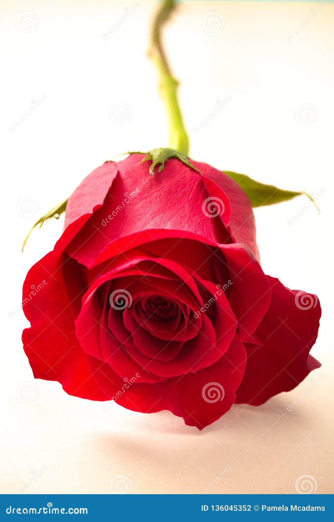 Rose simple sur un papier Antiqued par o de morceau