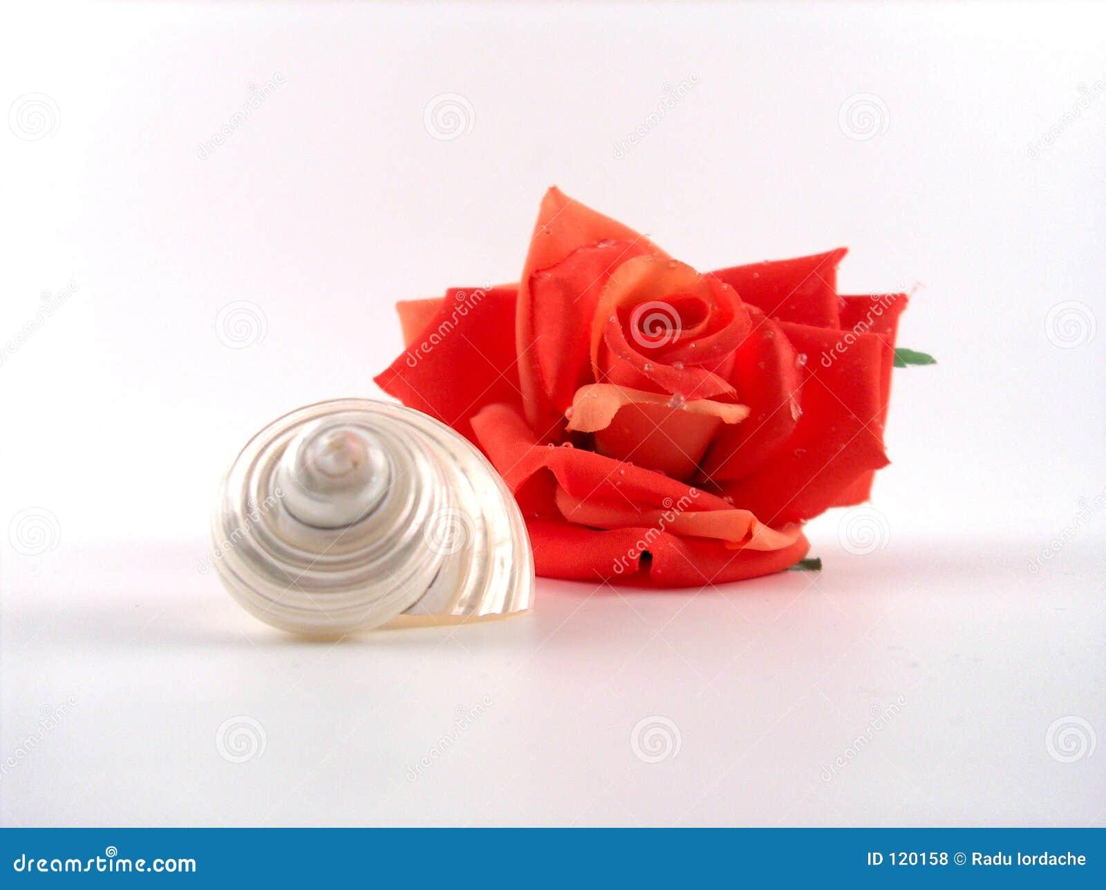 Rose skorupę,