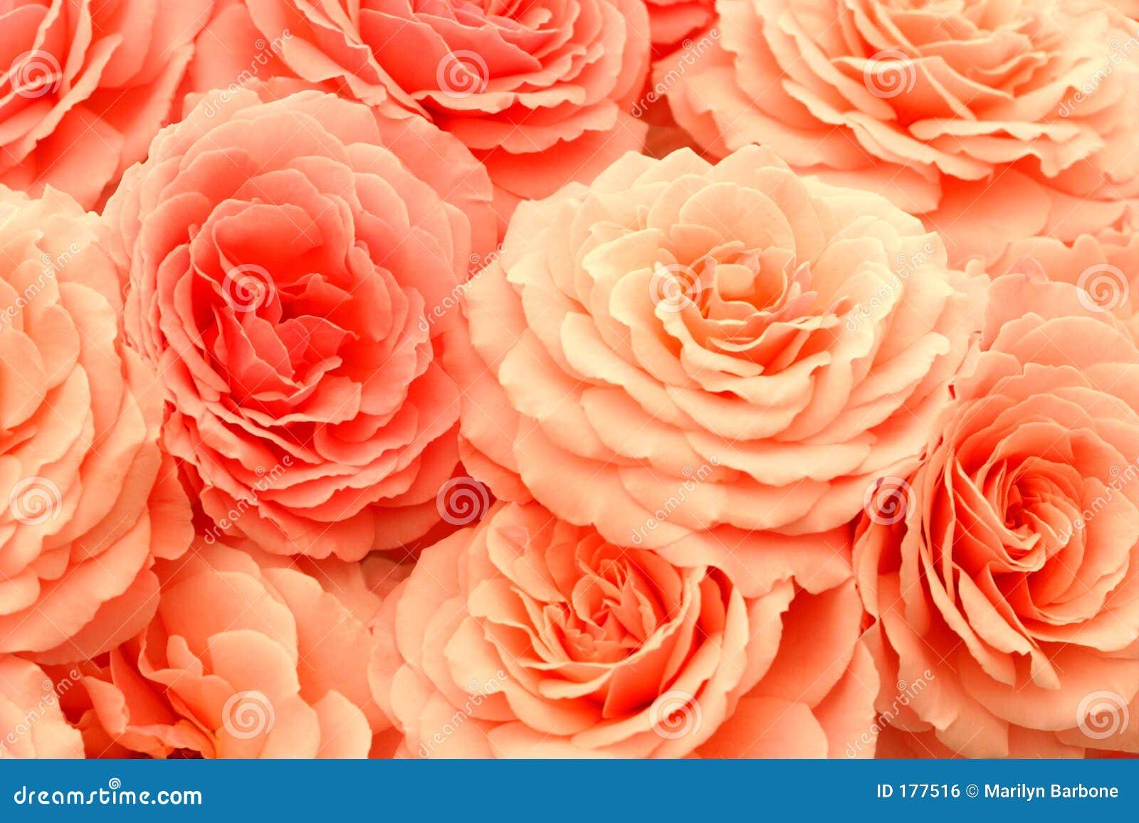 Rose squisite