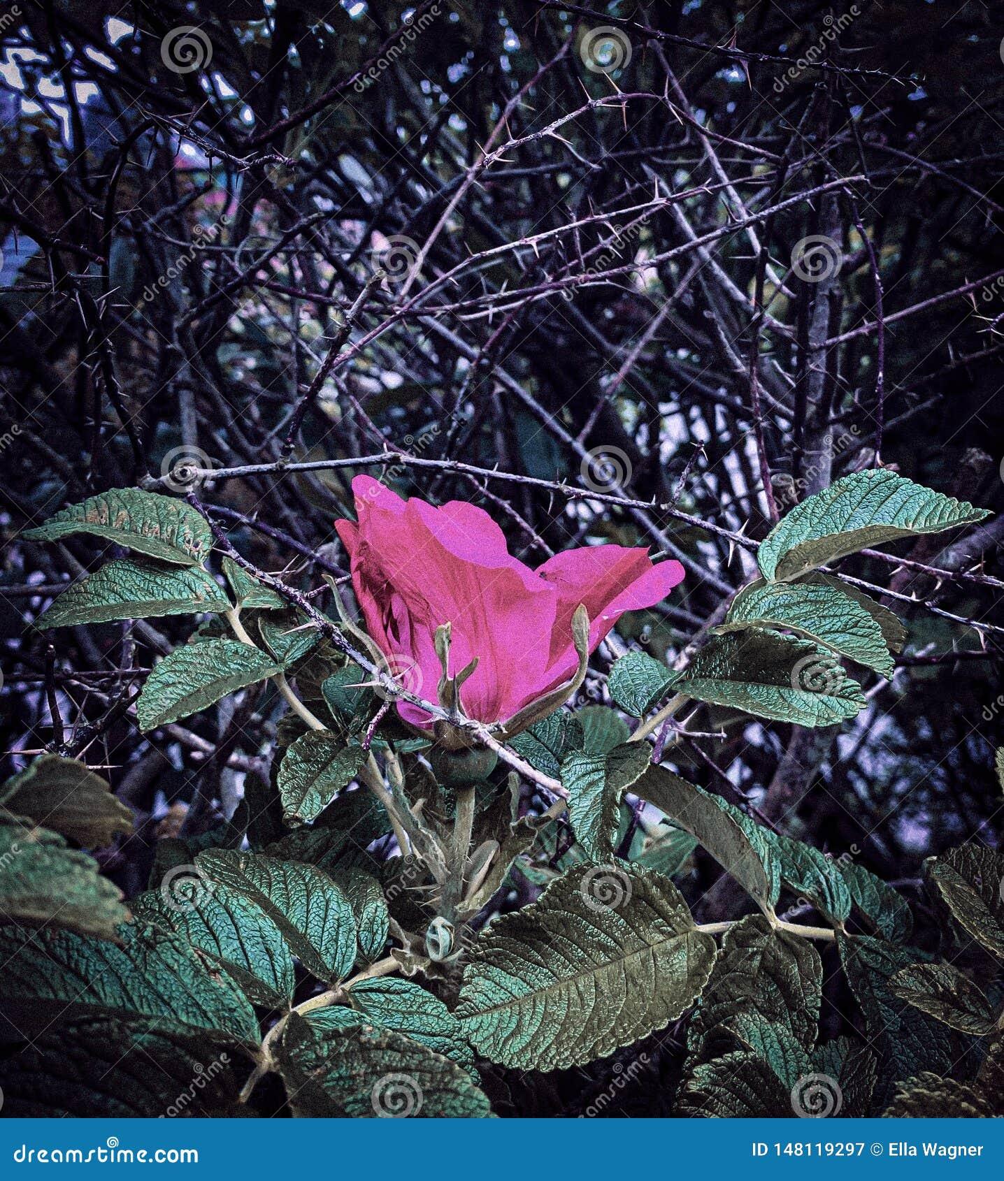 Rose taggar