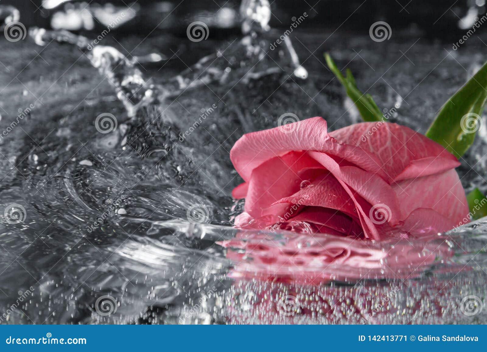 Rose tombant dans l eau avec une éclaboussure et un pulvérisateur