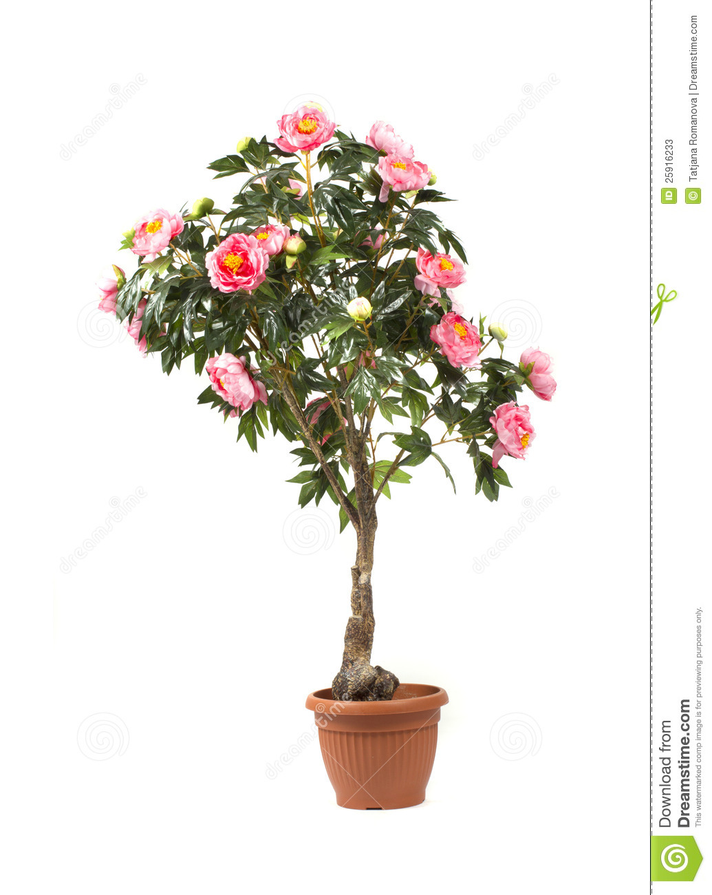 Rose Tree In A Pot Stock Photos Image 25916233