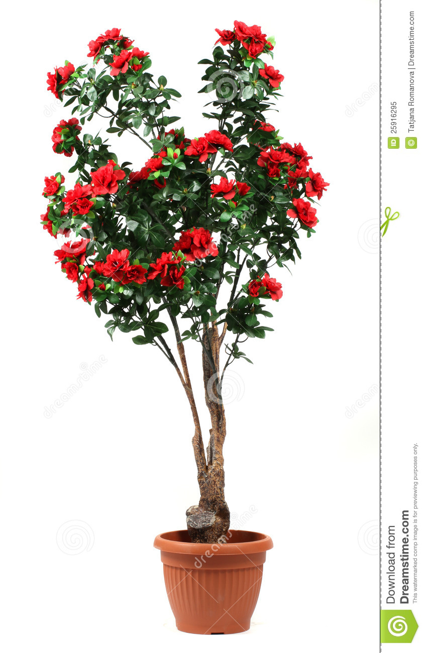 Rose Tree In A Pot Royalty Free Stock Photo - Image: 25916295