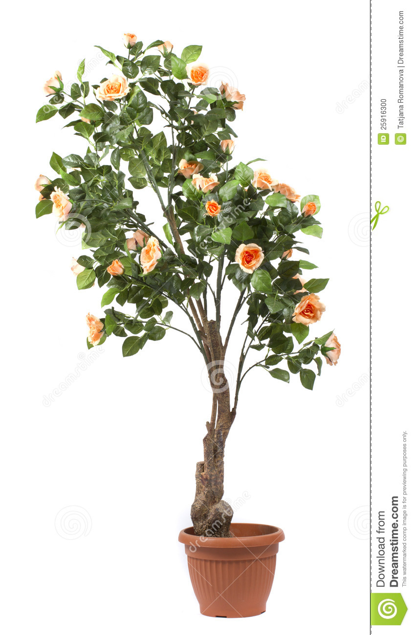 Rose tree in a pot