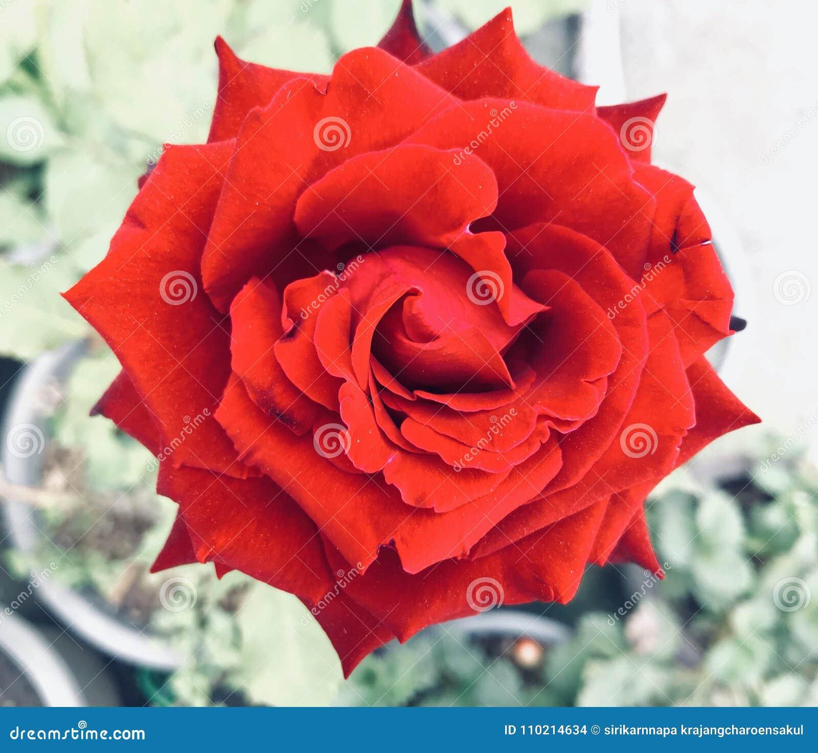 Rose stock photo. Image of decoration, bright, fashion - 110214634