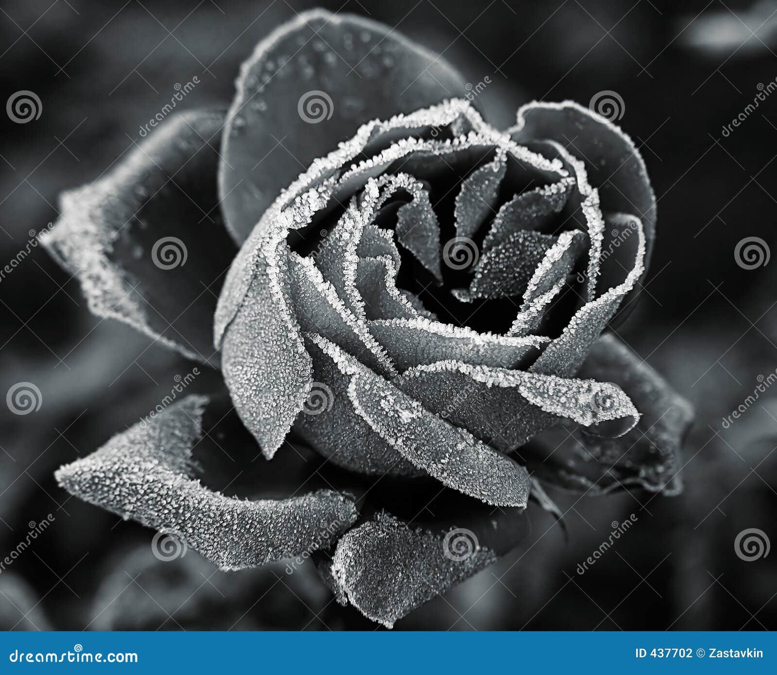 Rose unter Hoar-frost