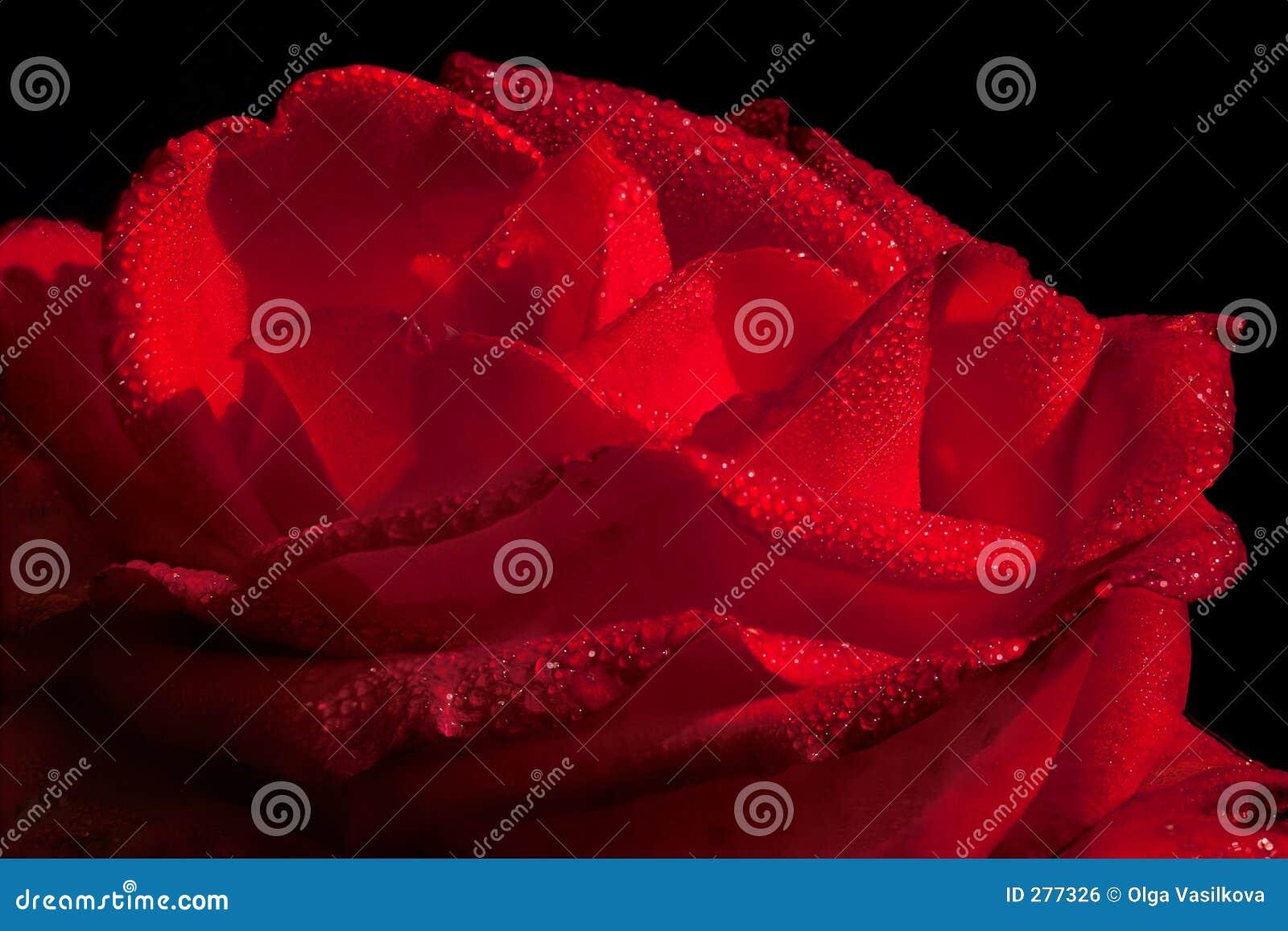 Rose waterdrops för varm red