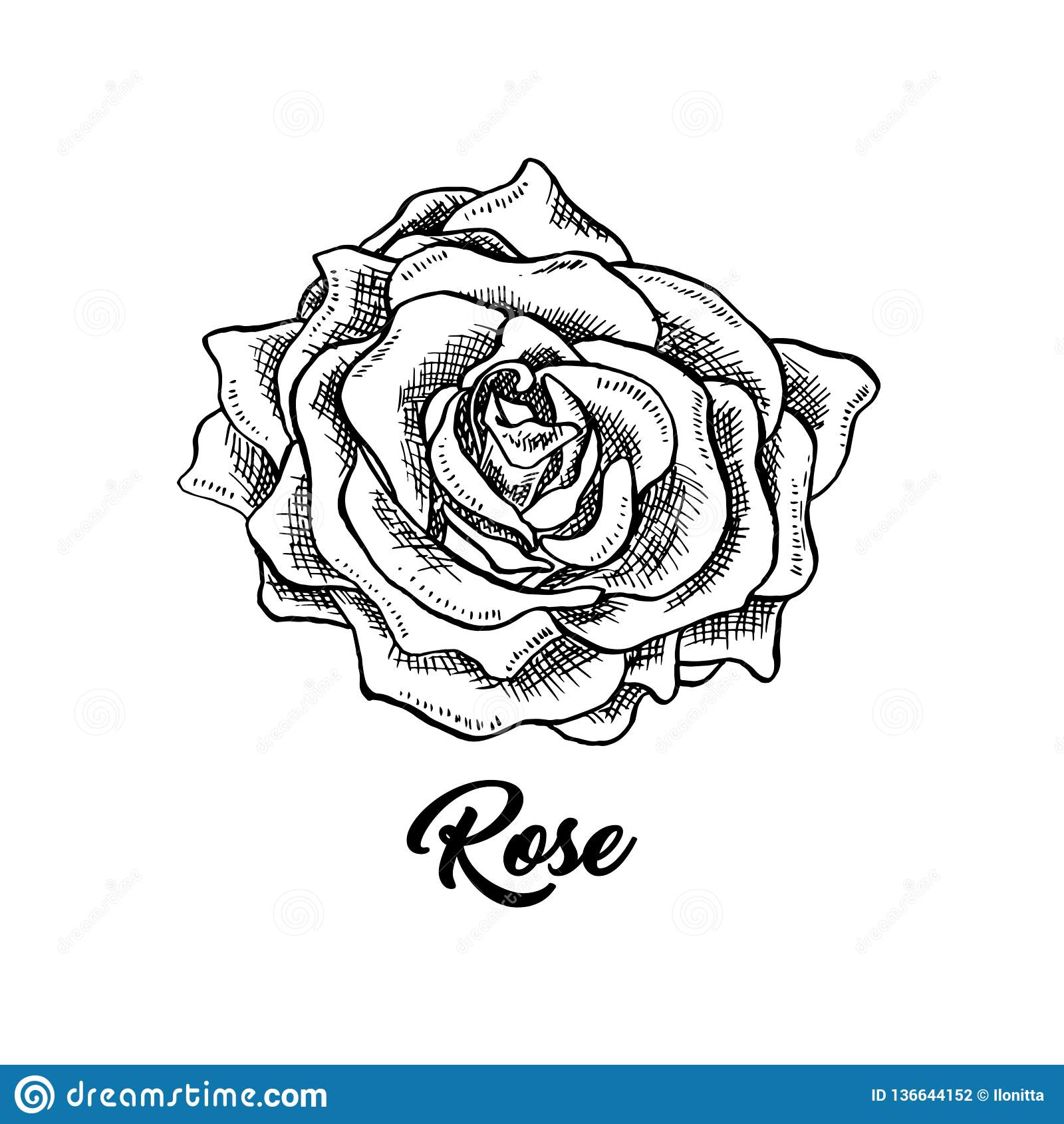 Rose Wine Flower Hand Drawn Ink Pen Illustration Stock Vector Illustration Of Emblem Drawing 136644152