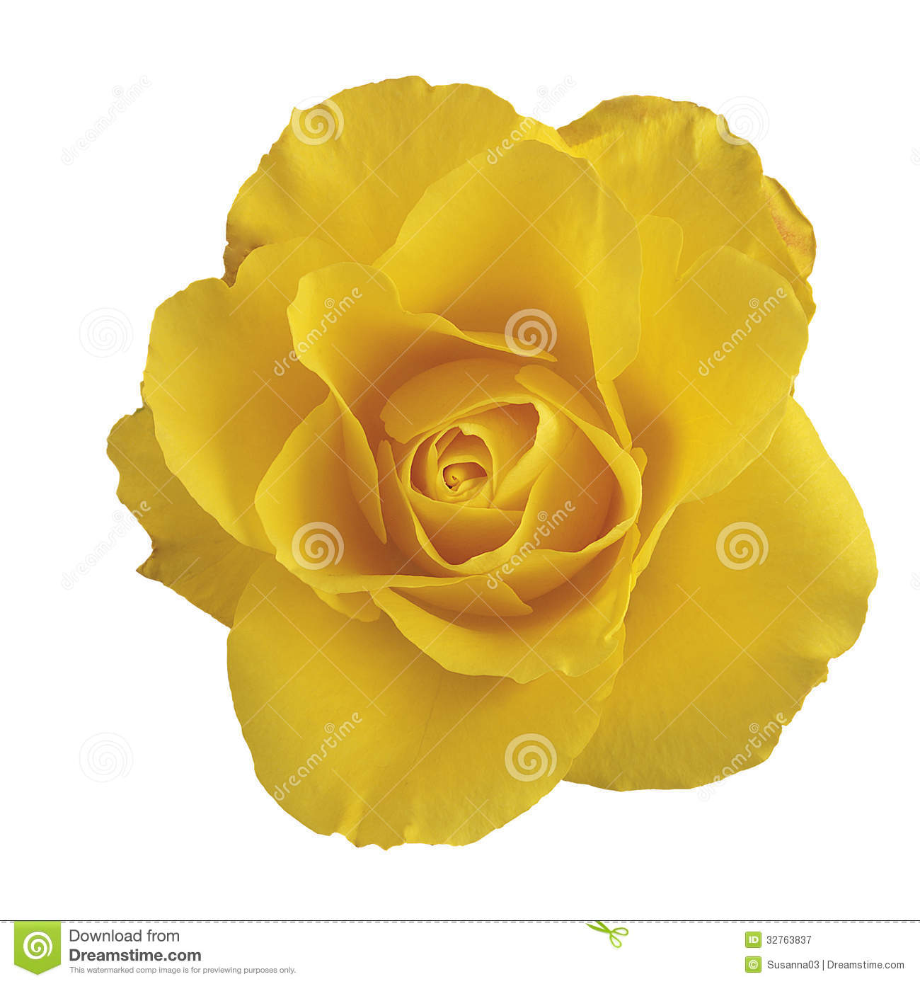 The gallery for --> Yellow Rose White Background