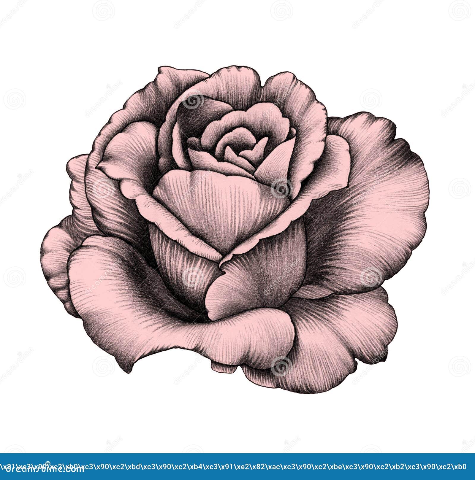 Rose Zeichnung Des Baums Auf Einem Weißen Hintergrund Stock